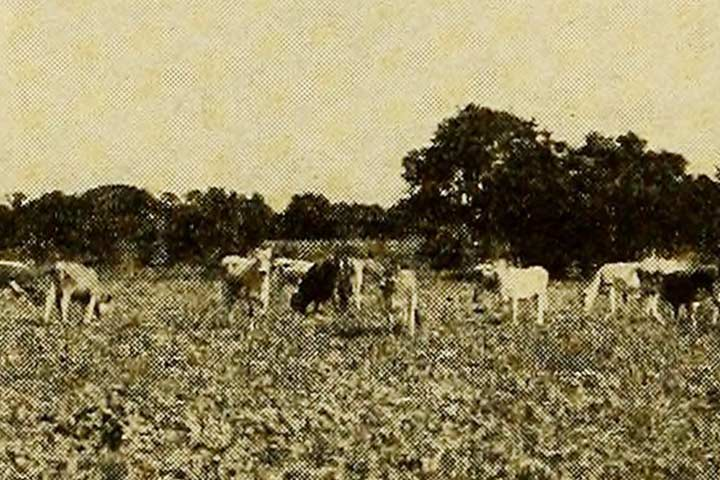 Historic photo of cattle grazing in Buda, TX