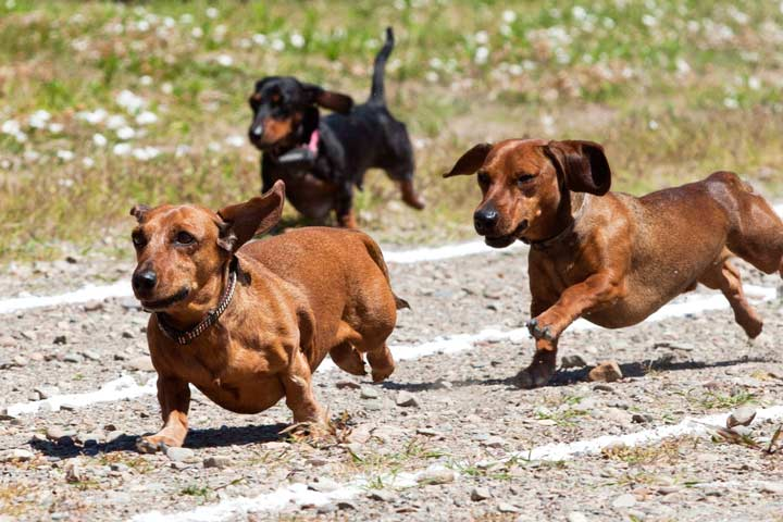 Wiener dogs participating in a race